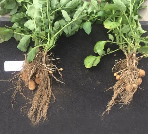 Links aardappelplant met toepassing PhysiomaX